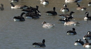 Pink-footed Goose, ML317573401