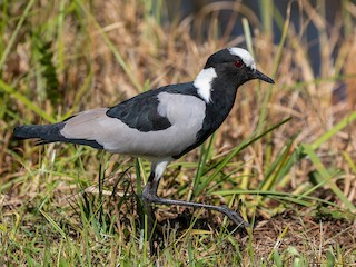 - Blacksmith Lapwing