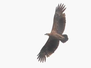 - Sanford's Sea-Eagle