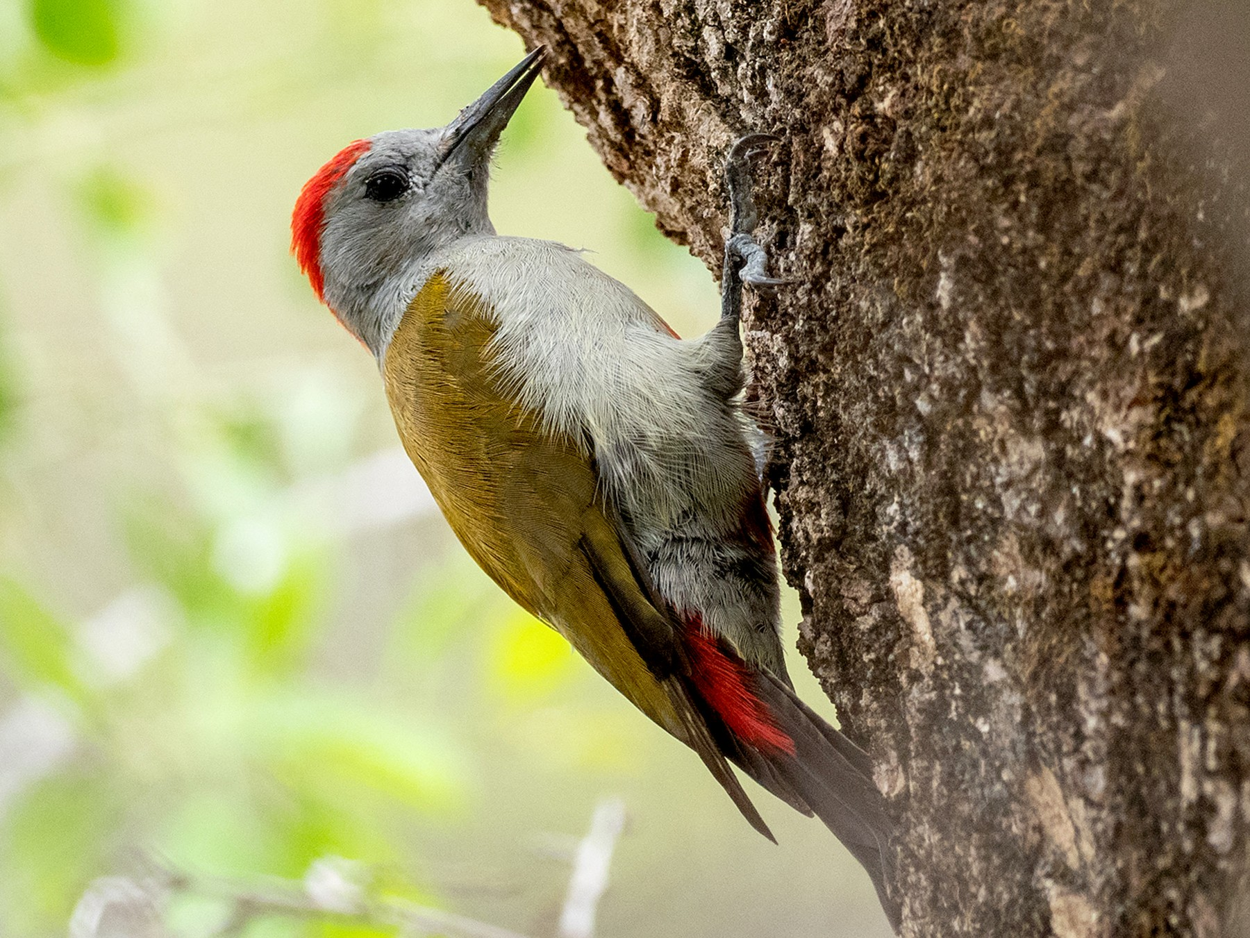 Mountain Gray Woodpecker - Forest Jarvis