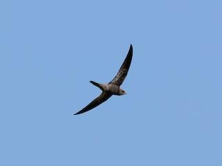 - African Swift (African)