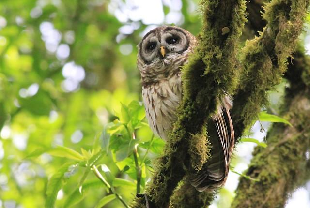 Fulvous Owl
