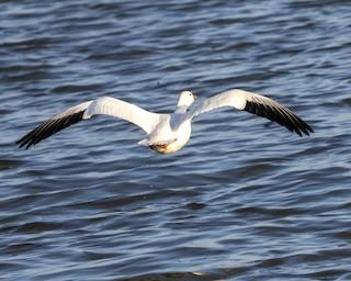 Snow Goose, ML318162941