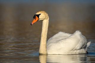 Mute Swan, ML318259091