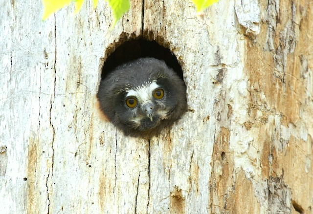 Northern Saw-whet Owl ML31872101