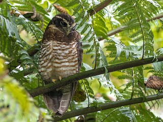 - Band-bellied Owl