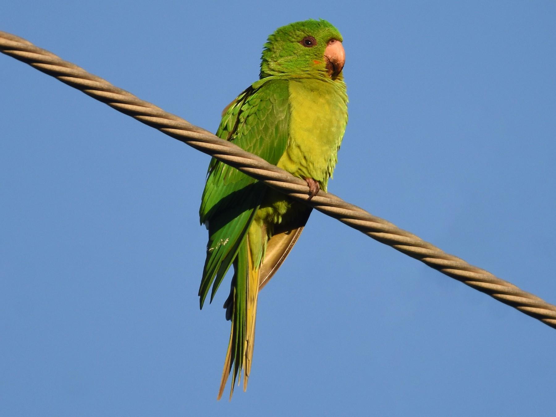 Green Parakeet - Christopher Lindsey