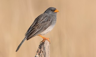 - Band-tailed Sierra-Finch