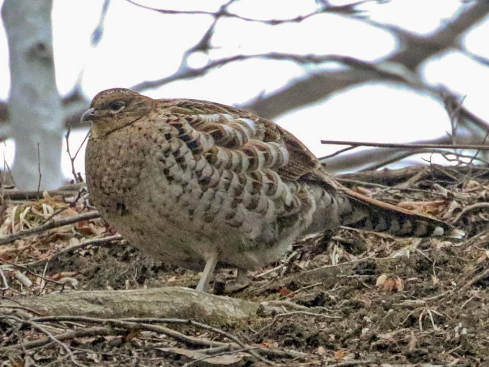 Copper Pheasant - Charley Hesse