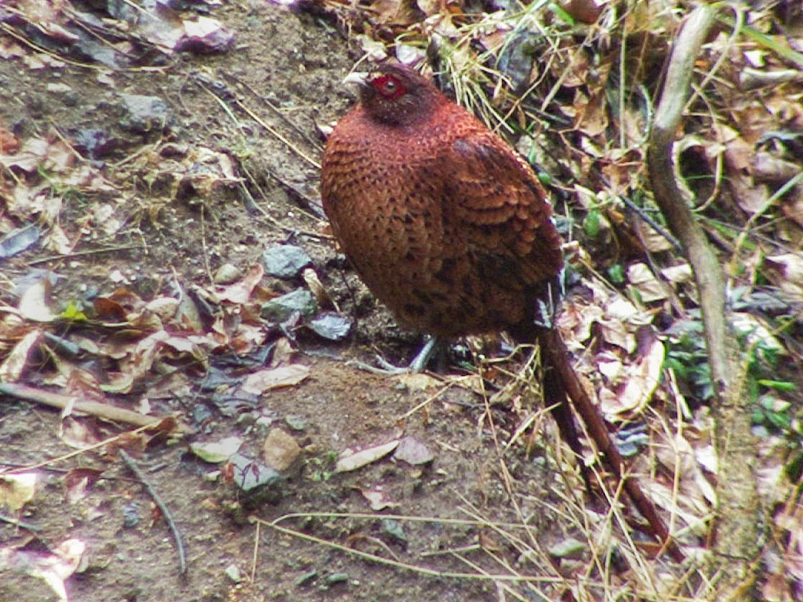 Copper Pheasant - Josep del Hoyo