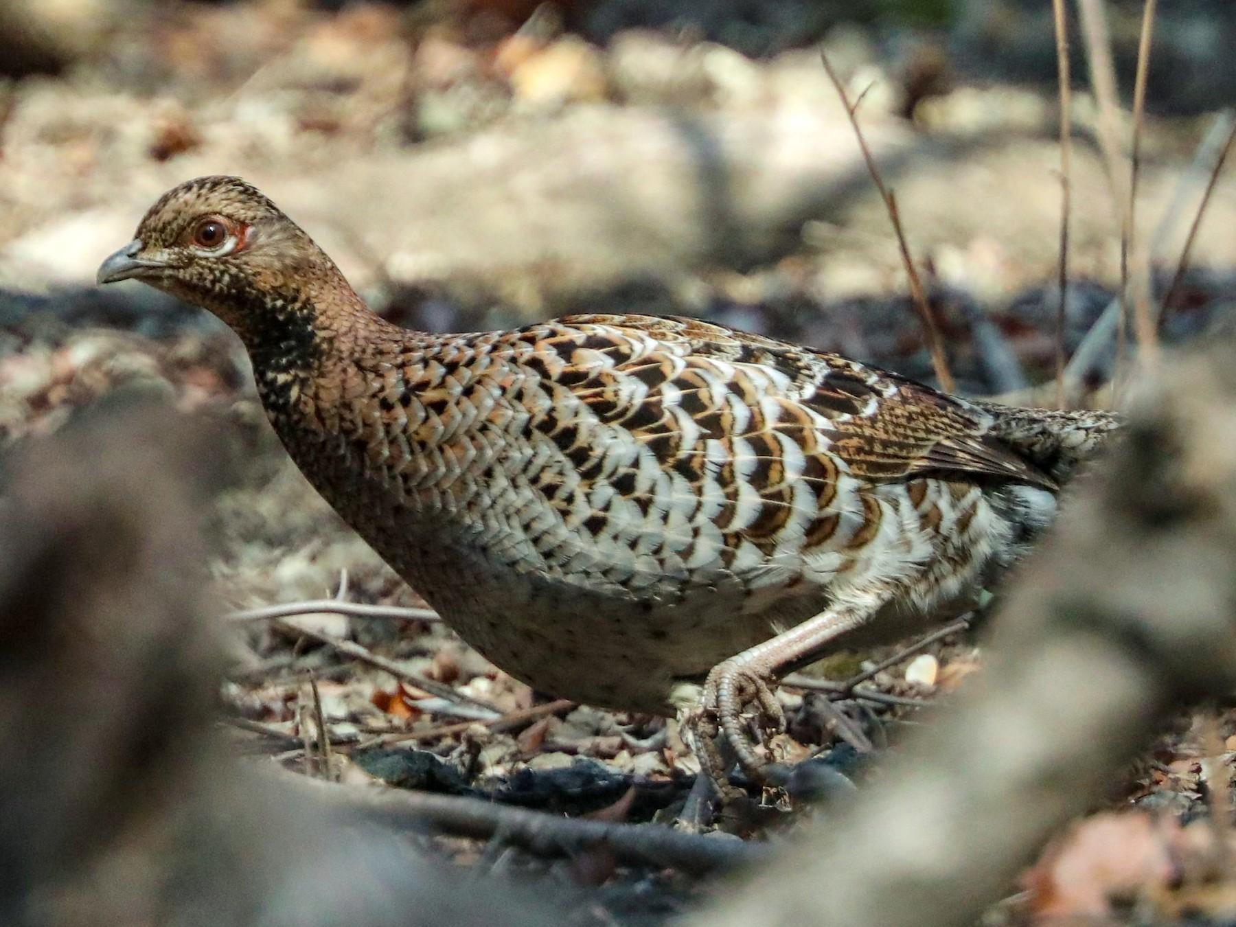 Copper Pheasant - Per Smith