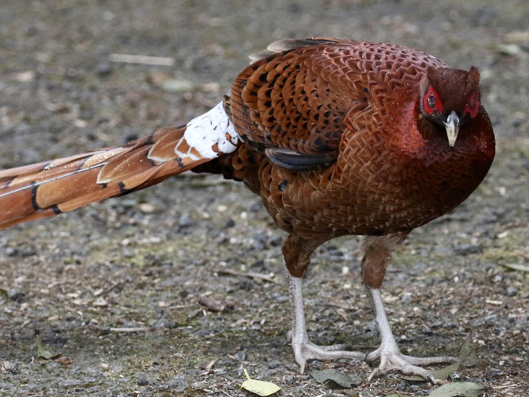 Copper Pheasant - Paul Koker