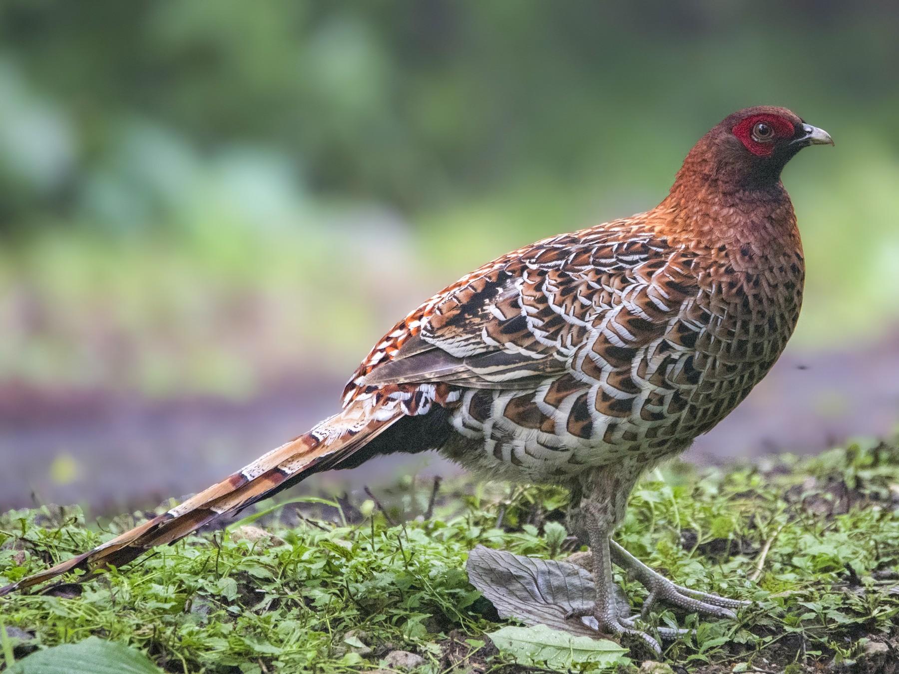 Copper Pheasant - Carlos Ibañez