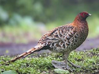 - Copper Pheasant