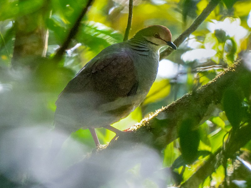Russet-crowned Quail-Dove - Chris Fischer