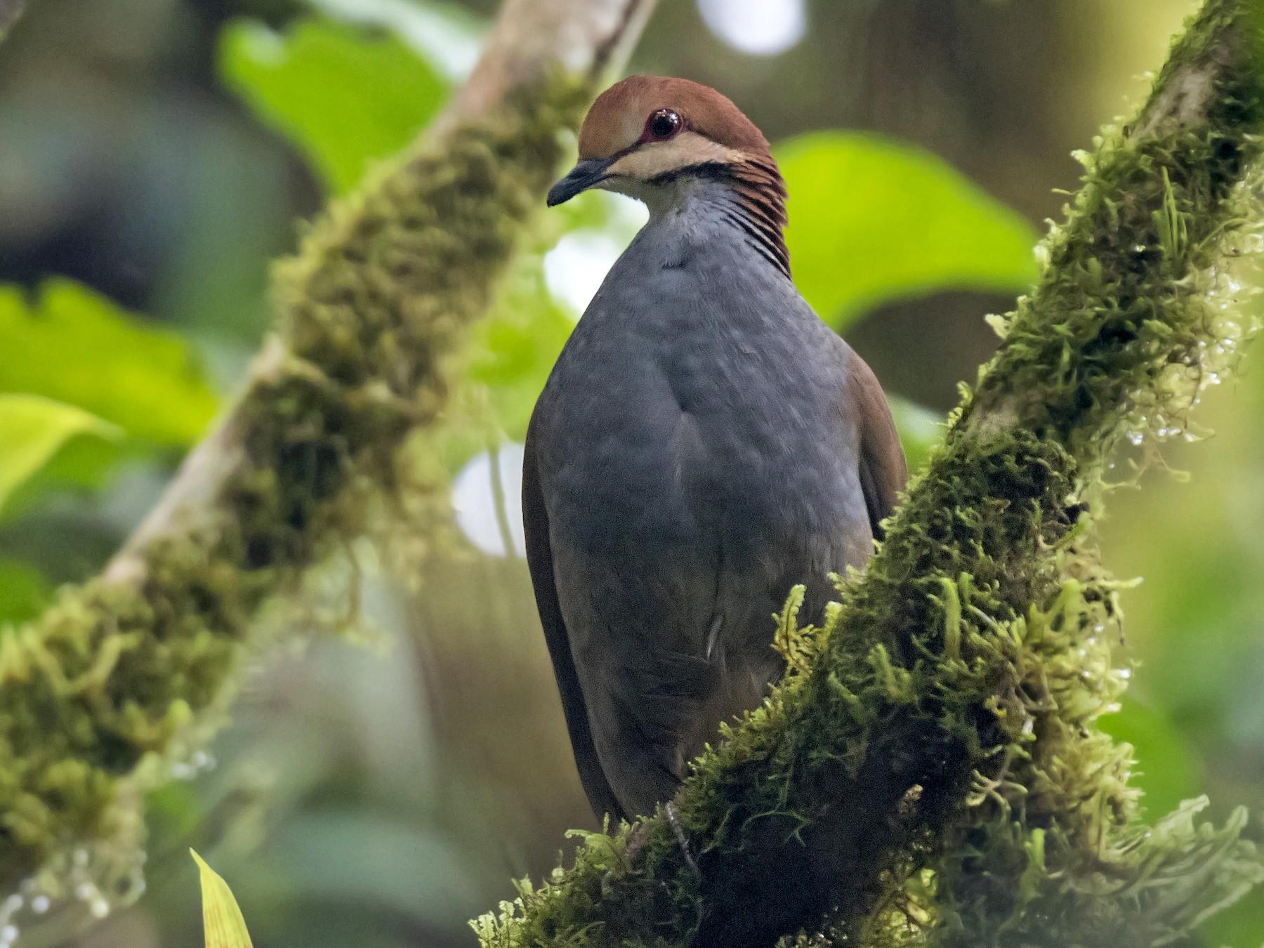Russet-crowned Quail-Dove - daniel lopez velasco