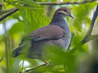 - Russet-crowned Quail-Dove