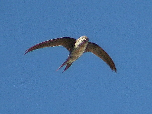 Pygmy Swift - Lermith Torres