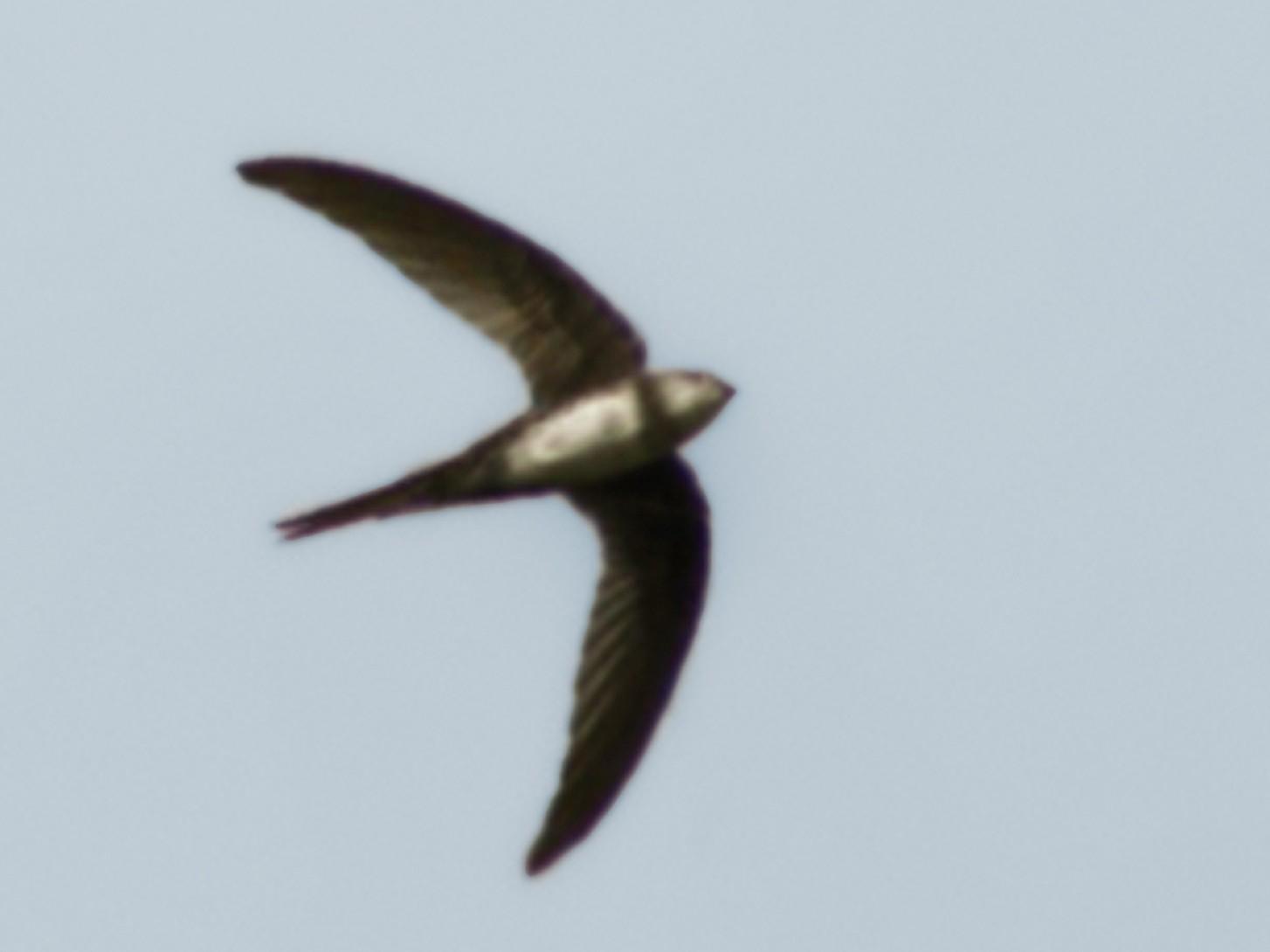 Pygmy Swift - Alberto Peña