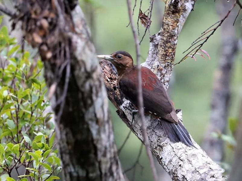 Okinawa Woodpecker - Arco Huang