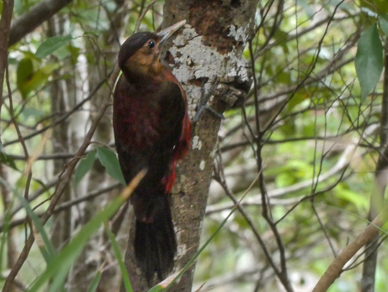 Okinawa Woodpecker - Josep del Hoyo