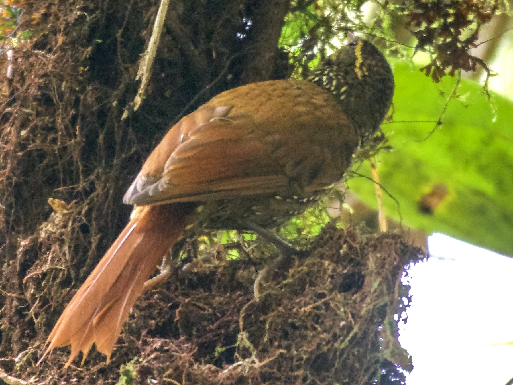 Beautiful Treerunner - Jan Cubilla