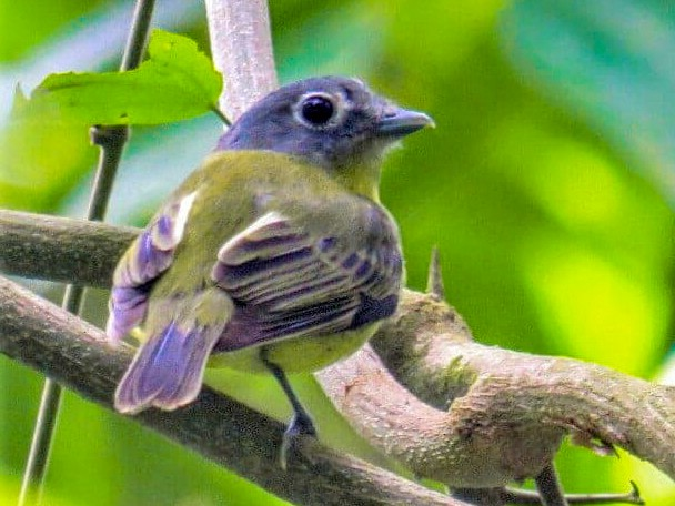 Gray-headed Piprites - Alfonso Auerbach