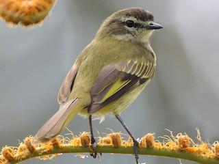 - Spectacled Tyrannulet