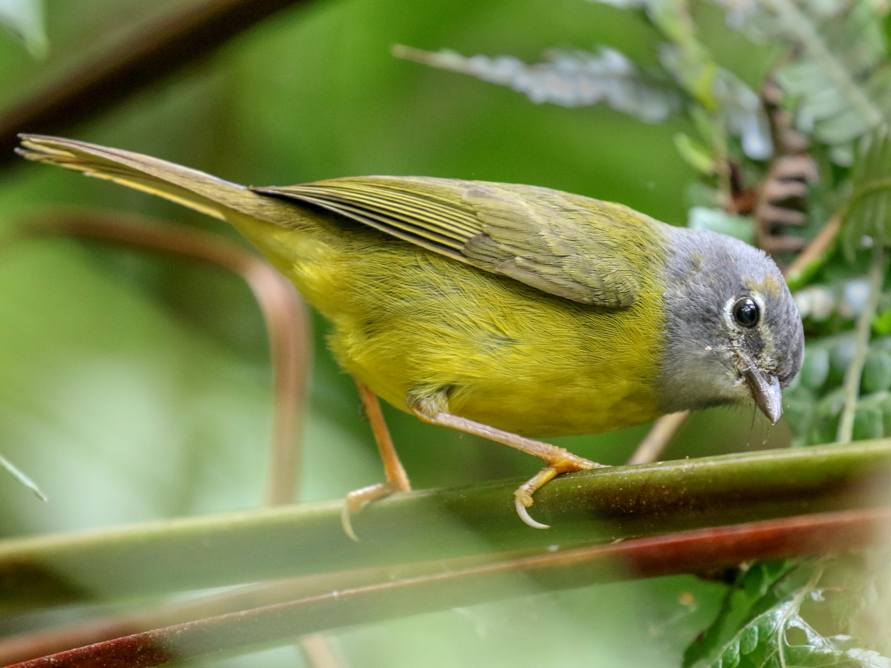 White-lored Warbler - Matthew Grube