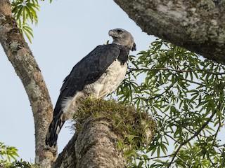 - Harpy Eagle