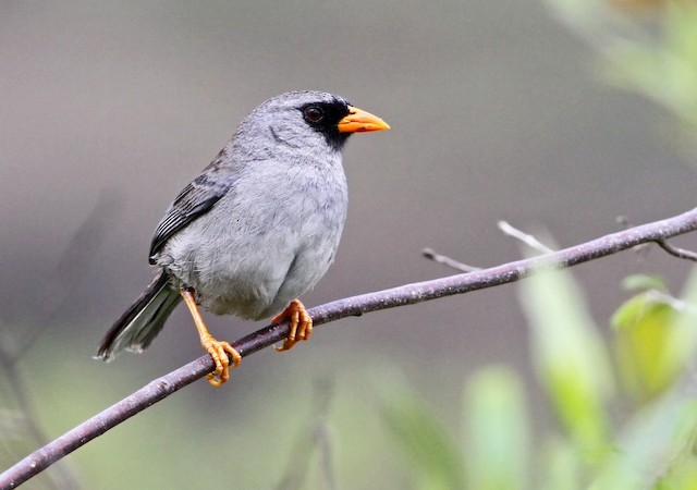 Gray-winged Inca-Finch