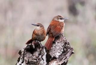 - Chestnut-backed Thornbird