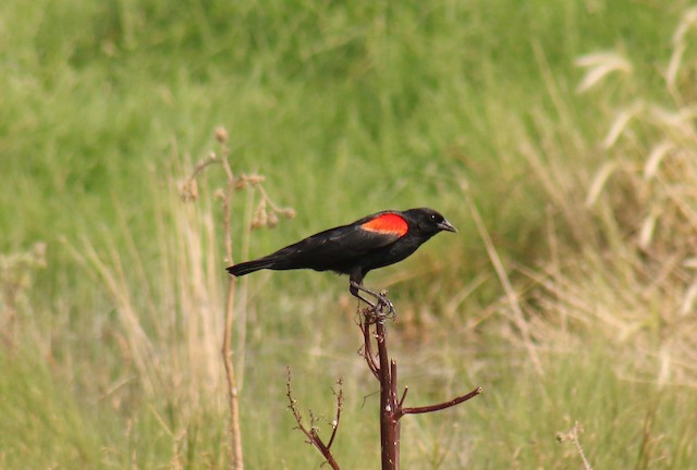 Red-winged Blackbird (Mexican Bicolored)