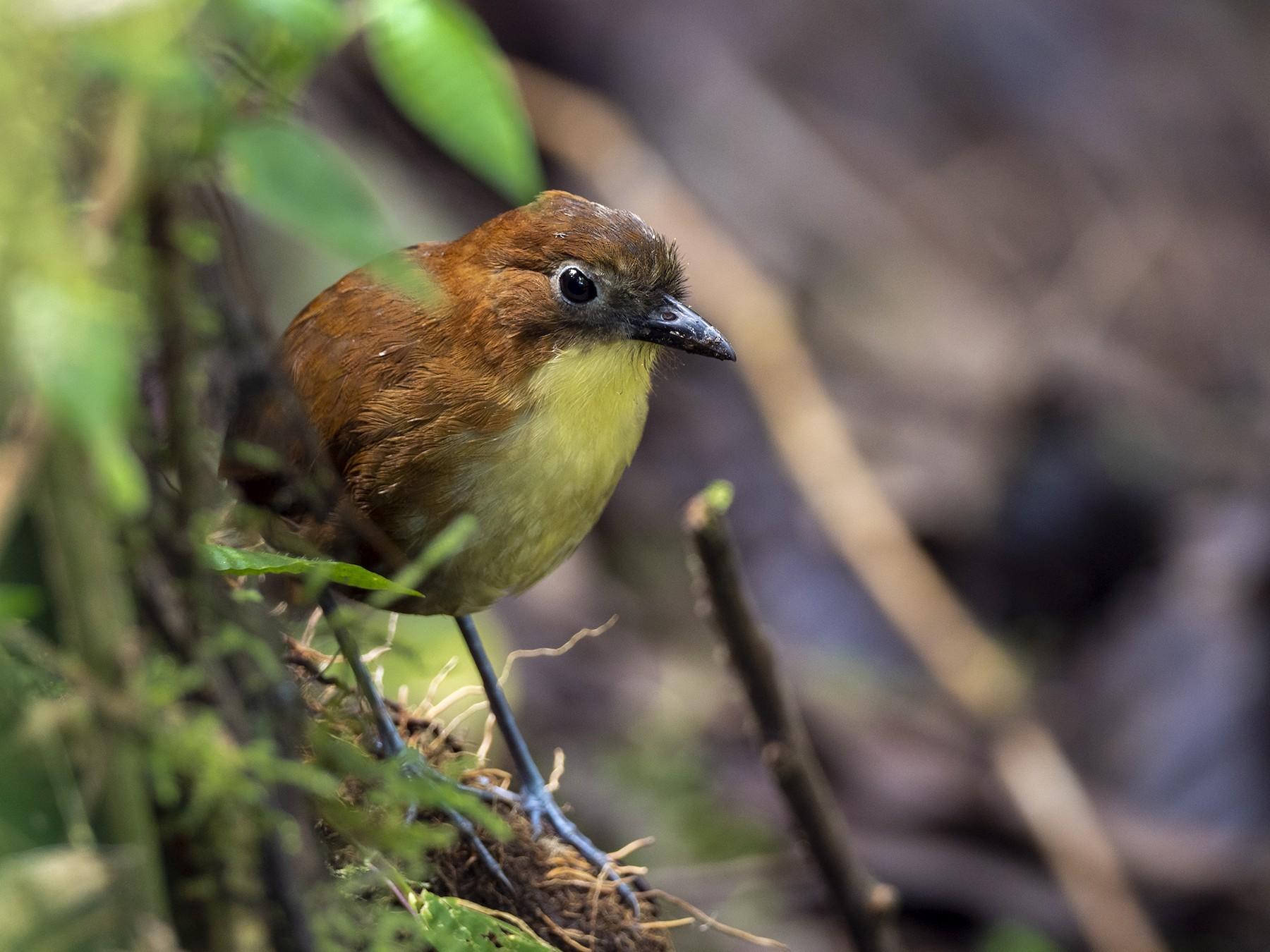 Yellow-breasted Antpitta - Andres Vasquez Noboa - Tropical Birding Tours