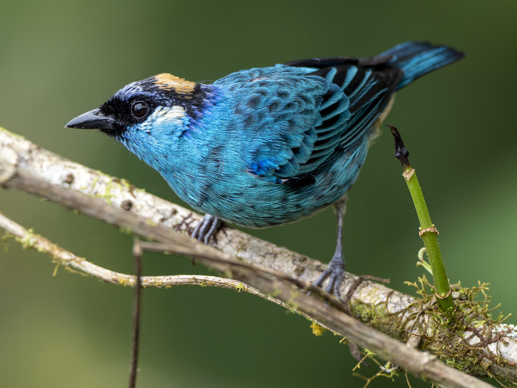 Golden-naped Tanager - Andres Vasquez