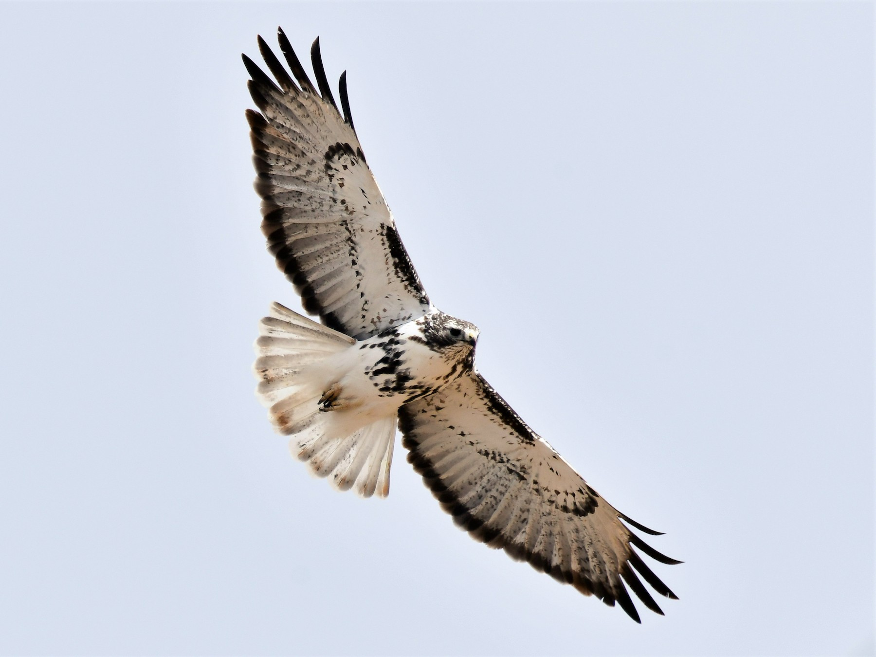 Red-tailed Hawk - Harold Ziolkowski