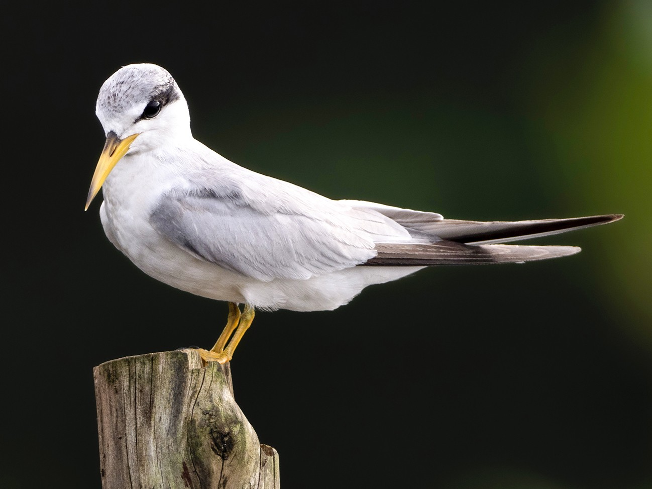 Yellow-billed Tern - Andres Vasquez Noboa - Tropical Birding Tours
