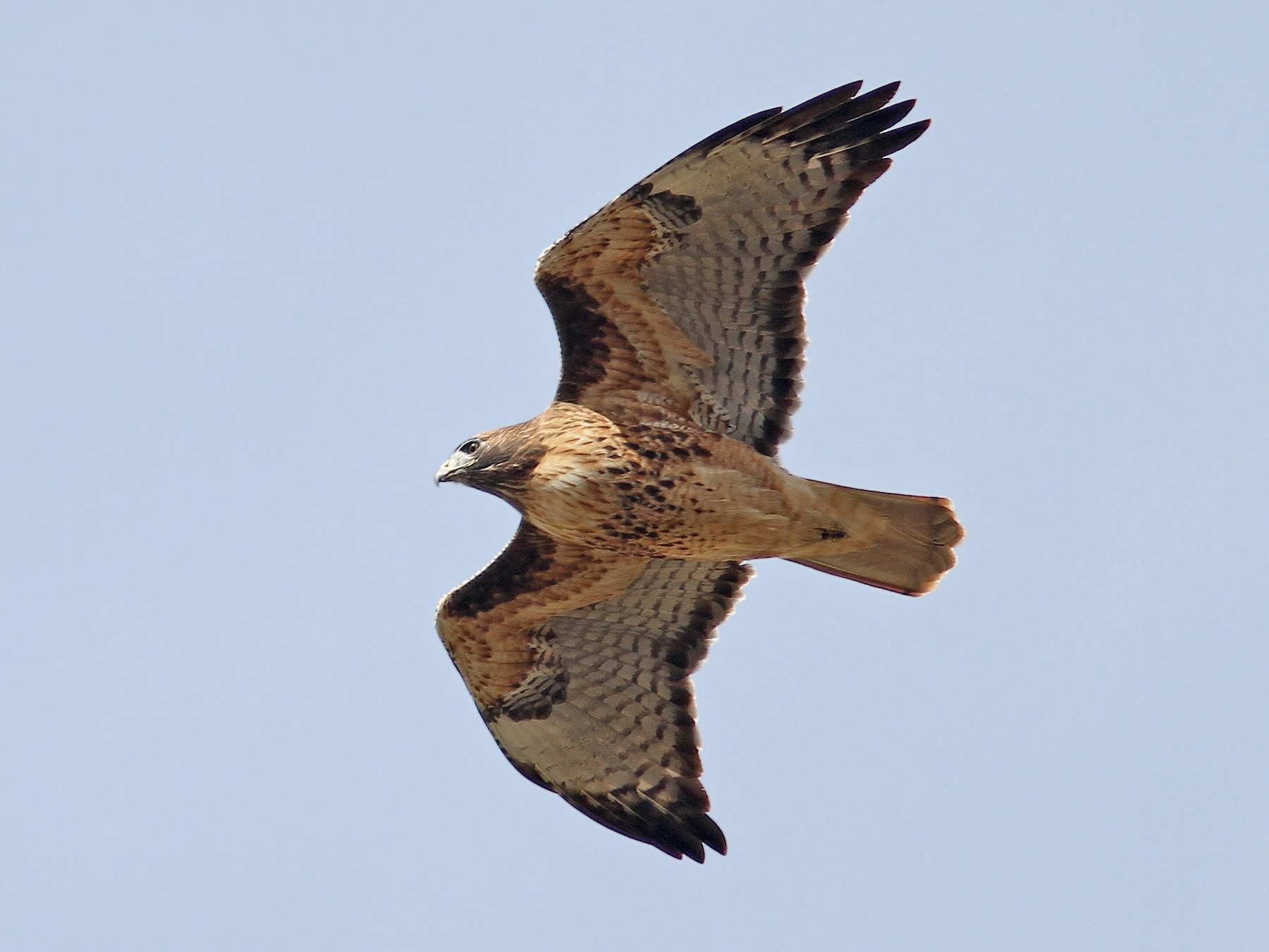 Red-tailed Hawk - Jerry Liguori