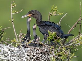 - Neotropic Cormorant