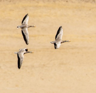 Bar-headed Goose, ML319947501
