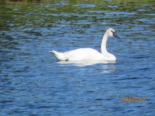 Trumpeter Swan, ML32000061