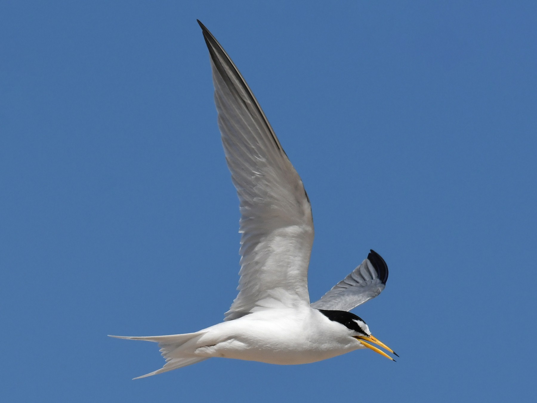 Least Tern - Sam Miller