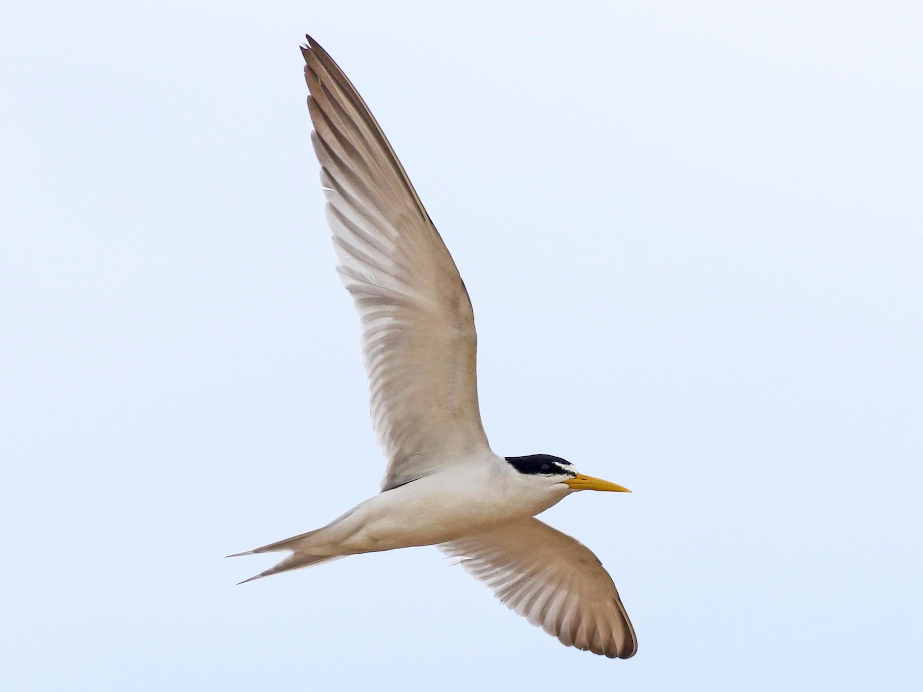 Yellow-billed Tern - Nick Bonomo