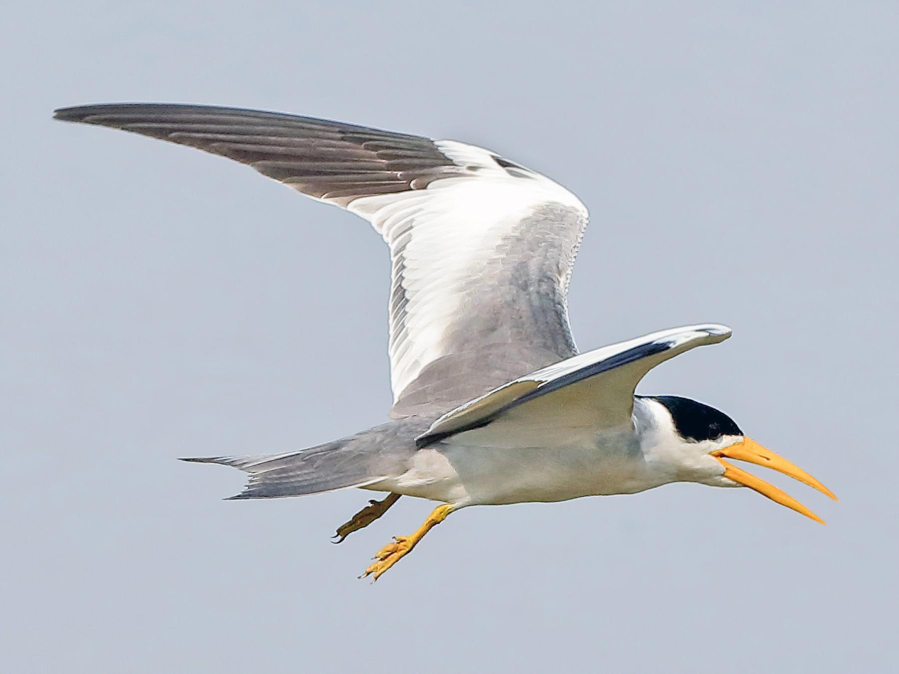 Large-billed Tern - Holger Teichmann