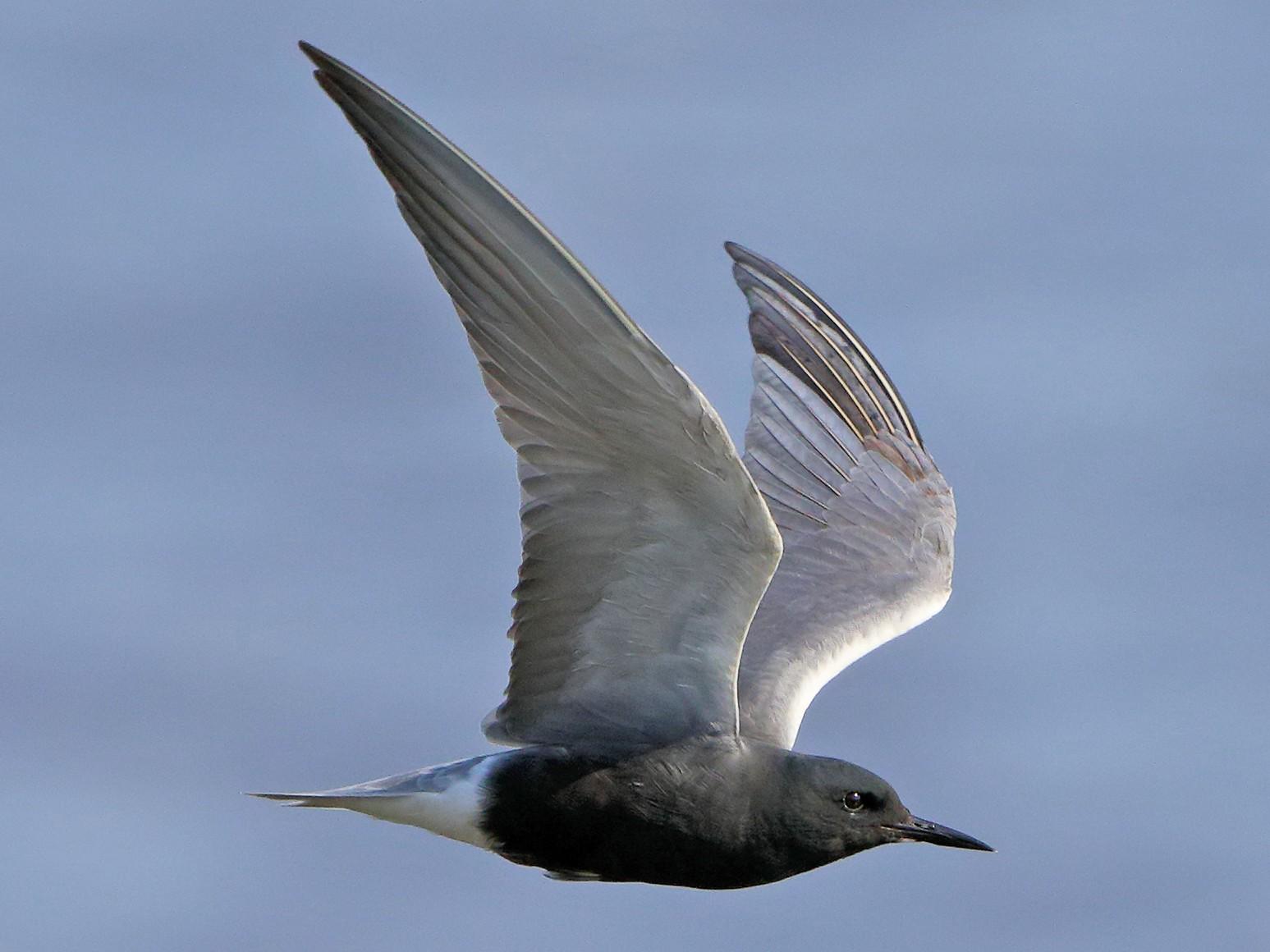 Black Tern - Ian K Barker