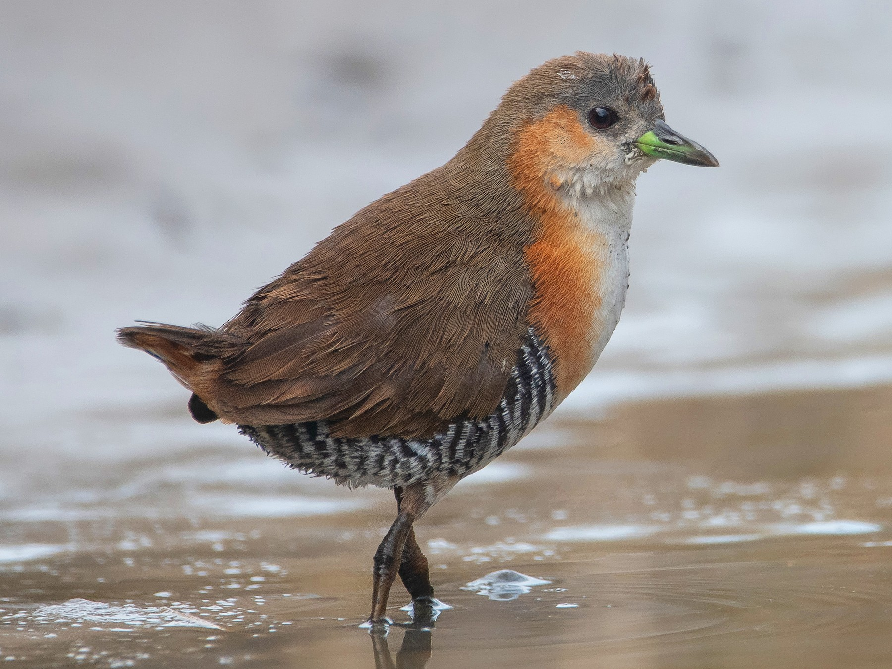 Rufous-sided Crake - Pablo Re
