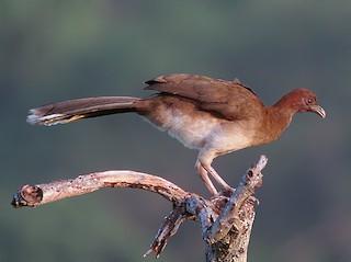 - Chestnut-winged Chachalaca