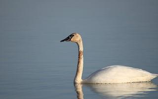 Trumpeter Swan, ML320154001