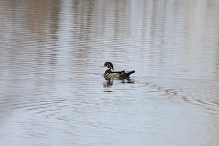 Wood Duck, ML320377211