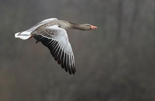Graylag Goose (European), ML320398811
